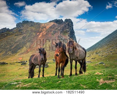 Developed from ponies - Icelandic horses. Colorful summer morning in the mountain pasture Stokksnes headland Iceland Europe. Artistic style post processed photo.