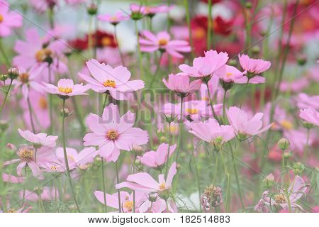 Beautiful pink cosset flowers in summer with blur