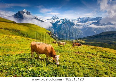 Cattle on a mountain pasture. Colorful morning view of Bernese Oberland Alps Grindelwald village location. Wetterhorn and Klein Wellhorn mountains on background. Switzerland Europe.