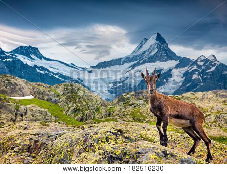 Alpine Ibex (Capra Ibex) on the Wetterhorn mount background. located west of Innertkirchen in the Bernese Oberland Alps. Switzerland Europe.