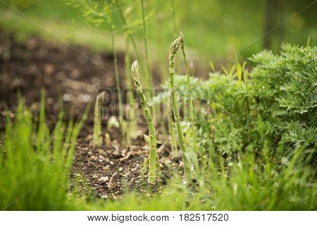 Fresh green organic asparagus growing on the garden