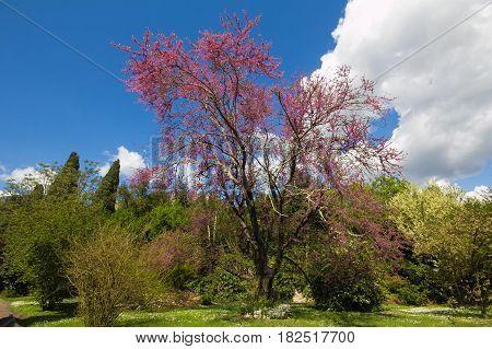 Judas tree in the Ninfa garden, Lazio, Italy