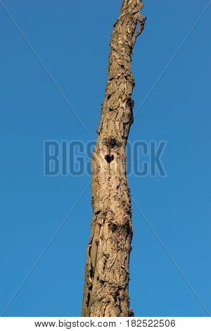 acacia tree trunk with heart shaped burrow hollow against nice clear blue sky
