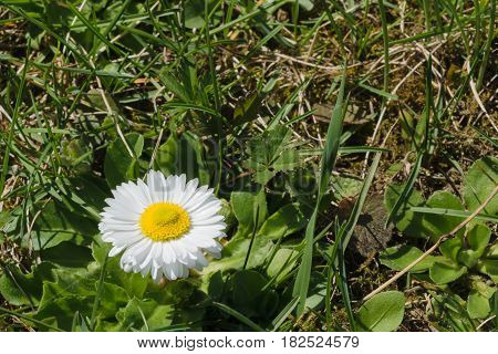 wild Paralute Bellis perennis - a common European species of daisy