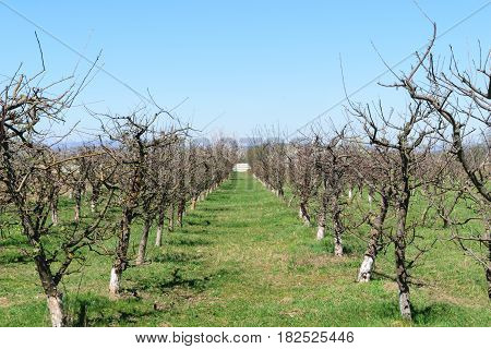 apple tree orchard in the spring time. Lines of apple trees with spring buds