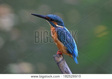Common Kingfisher Alcedo atthis Male Cute Birds of Thailand