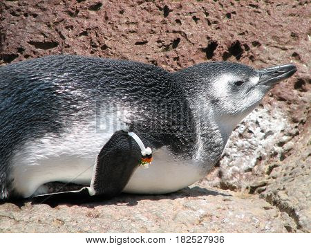 Little penguin soaking up the sunshine while laying on a rock.