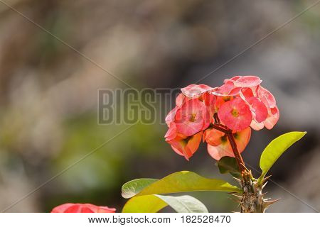 Beautiful pink Eight Immortals flower in garden.