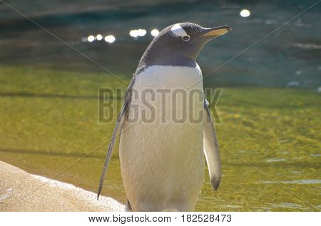 Profile of a gentoo penguin standing beside water.