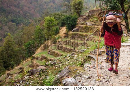 Nepal March 2017: An elderly woman carries a heavy load on her back using traditional wicker baskets strapped to her head. Many heavy items need to be carried up and down steep hills to villages in this way as many villages aren't connected by roads. Anna
