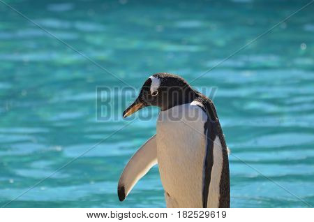 Adorable gentoo penguin standing at the edge of the water.