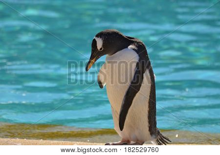 Cute shy gentoo penguin standing at the edge of the water.