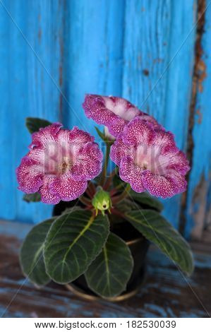 Velvet Gloxinia flower in a flower pot on the background of the old wooden walls.