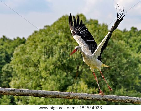 White Stork (lat. Ciconia ciconia) in flight. The white stork is one of the symbols of Belarus. It is a white bird with black ends of wings, a long neck, a long, thin, red beak and long reddish legs.