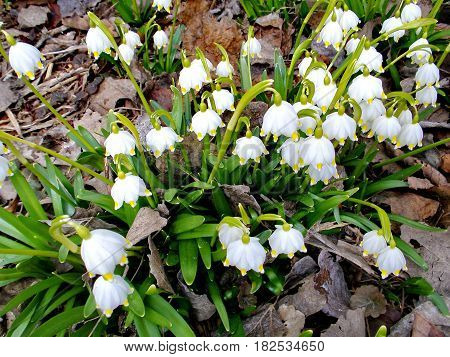 Snowdrop spring flowers. Delicate Snowdrop flower is one of the spring symbols. The first spring flowers. Closeup. Low DOF photography.