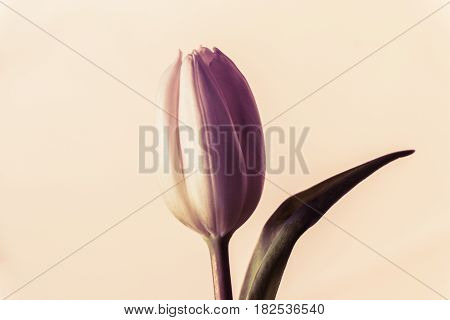 Single vintage lovely spring flower tulip blossom symbol of love. The flower has wonderful detailed bud perfect shape and rose background. Beautiful emotional present for e.g. easter valentine's day mother's day sweatheart or birthday.