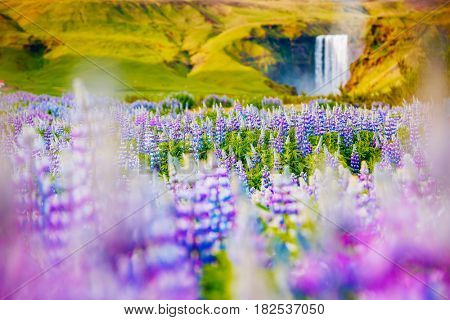 Lovely blooming lupine glowing by sunlight in day. Excellent and picturesque scene. Popular tourist attraction. Location place Skogafoss waterfall, Skoga, highlands of Iceland, Europe. Beauty world.