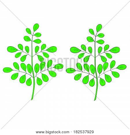 Moringa oleifera medicinal plant. Hand drawn botanical sketch illustration in color isolated.