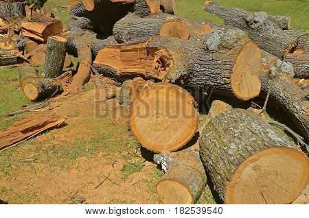 Huge pine tree cut into sections with a chain saw