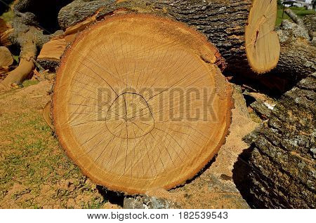 Huge pine log cut with a chain saw displaying concentric rings of age and growth