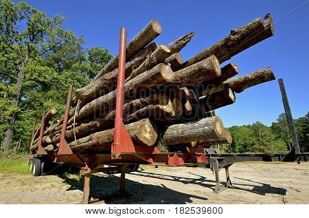 Trailer loaded with pine logs headed to the sawmill