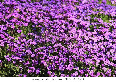 Floral carpet. The flowers were blossoming in April and formed a beautiful blue carpet