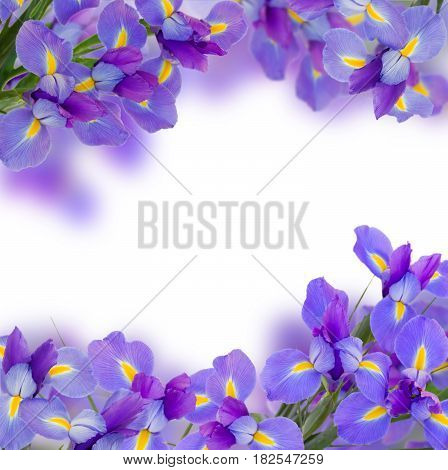 blue irises flowers borders isolated on white background