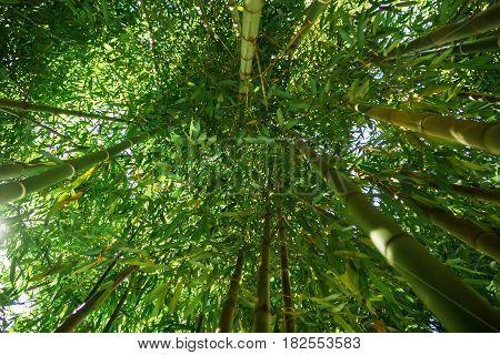 Green bamboo forest. Summer forest in garden