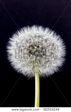 View of a Dandelion Seed head on a black background.