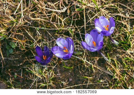 Mountain snowdrop flowers and crocuses in the carpathian landscape