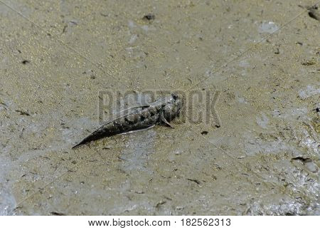Mud skipper Amphibious fish on wooden in water