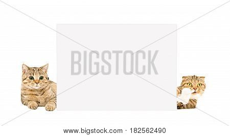 Two pretty cats lying behind a banner, isolated on white background