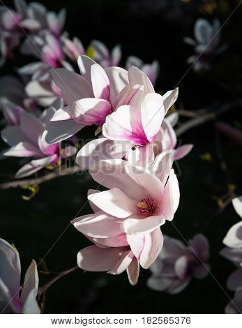 Blooming Magnolia Tree With Pink Flowers