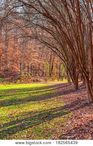 Lawn with row of bare leopard trees in the Lullwater Park in sunny autumn day, Atlanta, USA