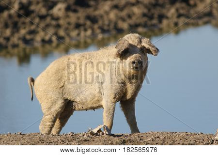 Mangalica a Hungarian breed of domestic pig on the watering place