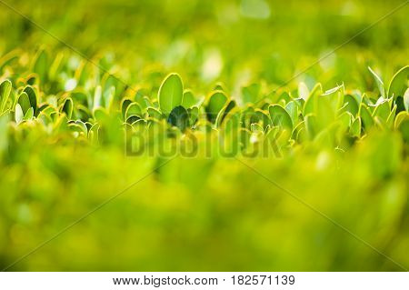 Summer. The laurel bush. The bush is trimmed from above. Crimea. Alupka.