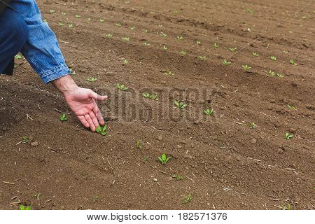 Farmer examining crop.  Farmer's hand check quality of sprout in early spring field, selective focus