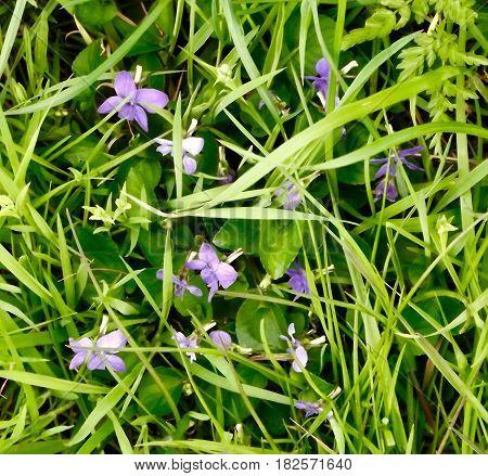 Common Dog Violet, (viola riviana) springtime wild flower