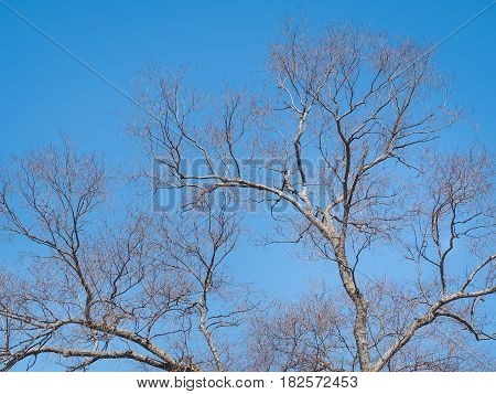 Leafless branches of sakura tree against blue sky. Osaka, Japan