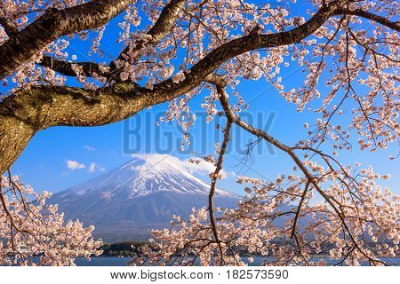 Kawaguchi Lake, Japan at Mt. Fuji with cherry blossoms in spring.