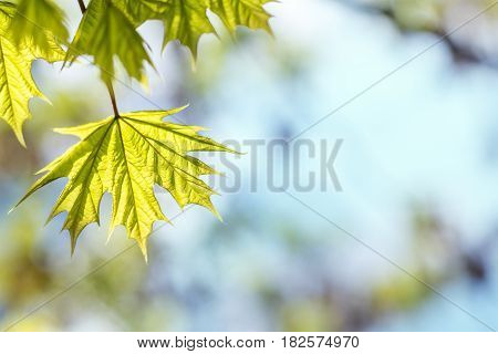 Beautiful Young Maple Leaves On Blue Sky