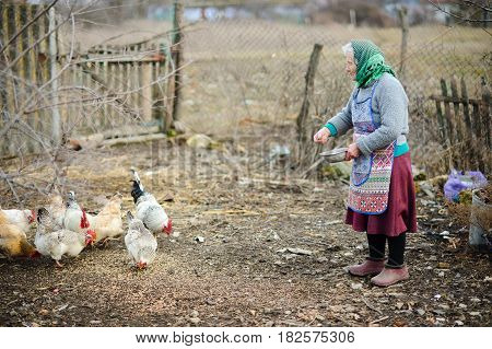 The elderly peasant woman feeds hens on the courtyard. Beautiful well-groomed birds peck grain. Sad autumn landscape.