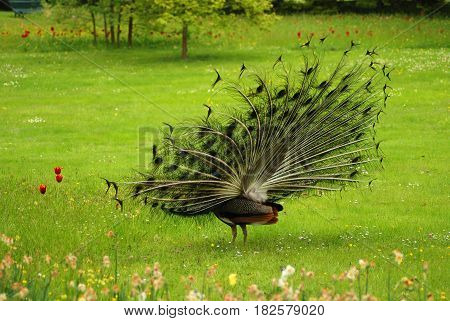 Indian peafowl or peacock (Pavo cristatus) is a large and nicely coloured birds. The species is native to South Asia, but introduced in many other countries.