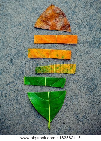 Leaves Of Different Age Of Jack Fruit Tree On Dark Stone Background. Ageing  And Seasonal Concept Co
