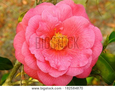 Flower, Camellia, Pink, Spring time Beauty, Grows on Bush.