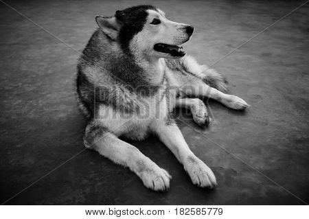 Portrait of Siberian Husky. Full body of tame dog sitting on ground. Black and white picture style.