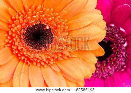 Orange And Pink Gerbera Flowers Close Up.