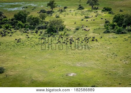Aerial View Of A Herd Of Buffalos.