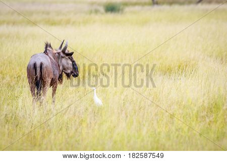 Blue Wildebeest In High Grass With A Cattle Egret.