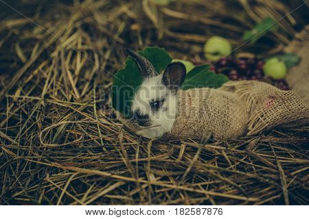 Cute Rabbit In Sackcloth With Cherry And Apples On Hay